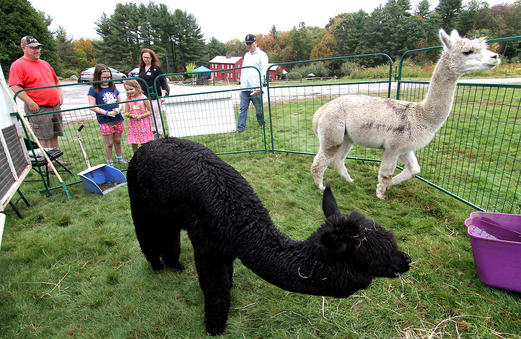 . Harvard Alpaca Farm owner, Matthew Varrell watches as family from Wakefield, looks over BlackRock and Charlie, family L-R, Isla Yarosh,9, Shay Yarosh, 7 1/2, Lora Barker (mom), and Mike Yarosh, (dad). Nashoba Valley Voice Photo by David H. Brow