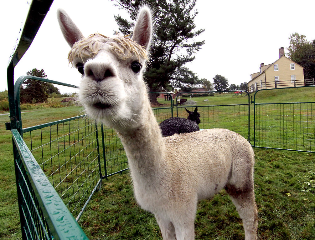 . Charlie, an Alpaca from the Harvard Alpaca Farm in Harvard, along with Black Rock in back, at the Fruitlands Harvest Festival. Nashoba Valley Voice Photo by David H. Brow