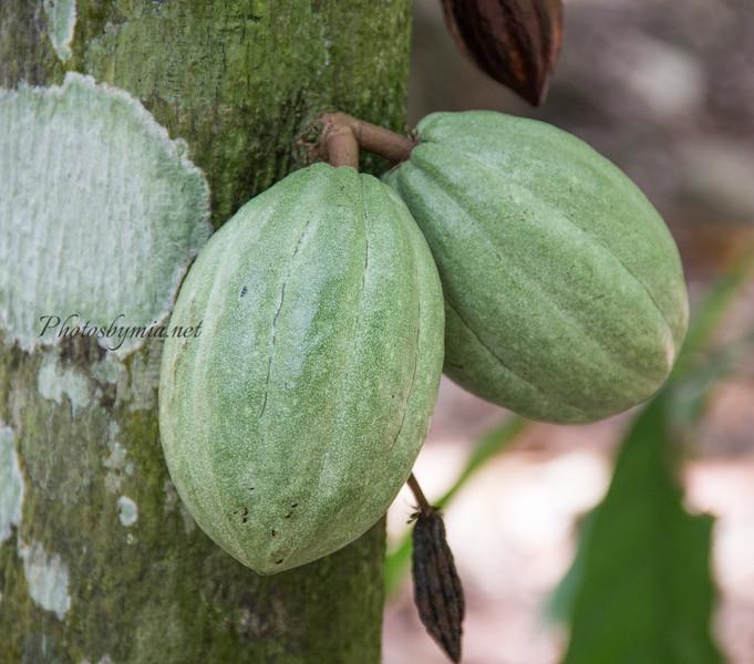 Cocoa nut