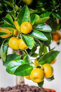 Small citrus Calamondin fruits on the branches, close up view