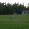 Deer grazing in what used to be the garden at Ft. Flagler right in front of our house.