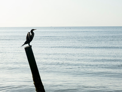 Cormorant, Ft Myers Beach, FLlorida