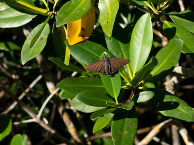 Mangrove Skipper, Matanzas Pass Preserve on Estero Bay