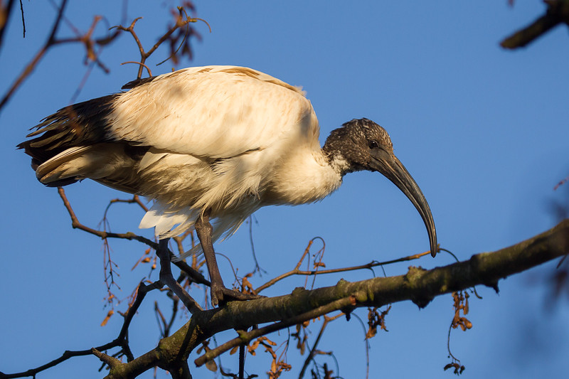 Hellig Ibis