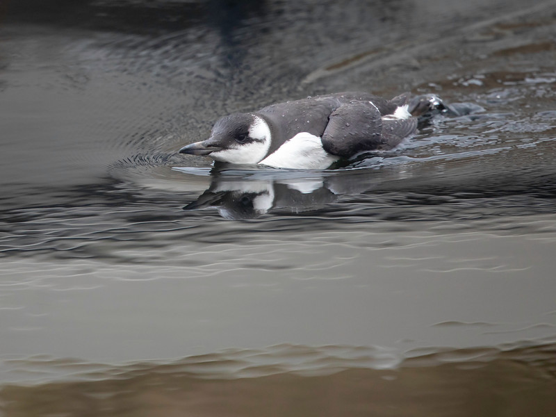 Lomvi / Common Murre<br /> Storsand, Asker 8.11.2020<br /> Canon EOS 5D Mark IV + EF500mm f/4L IS II USM +1.4x III