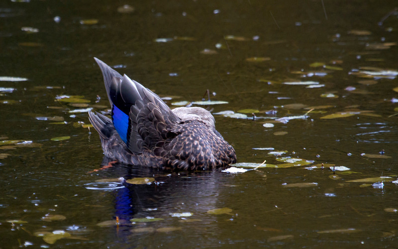Rødfotand / American Black Duck<br /> Mellomdammen, Hurum 22.9.2012<br /> Canon EOS 7D + EF 100-400 mm 4,5-5,6 L