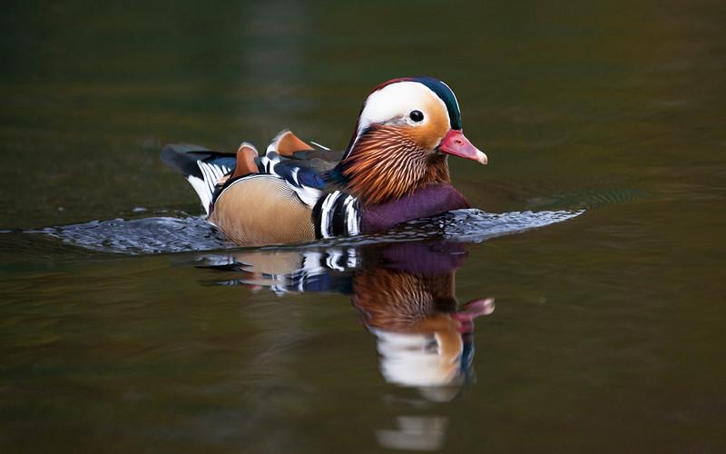 Mandarinand / Mandarin Duck<br /> Mellomdammen, Sætre. 16.9.2012<br /> Canon EOS 5D Mark II + 100-400 mm 4,5-5,6 L