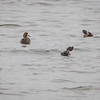 Bergand / Greater Scaup<br /> Linnesstranda, Lier 25.9.2016<br /> Canon 7D Mark II + Tamron 150 - 600 mm 5,0 - 6,3