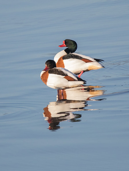 Gravand / Common Shelduck <br /> Linnesstranda, Lier 2.4.2017<br /> Canon 7D Mark II + Tamron 150 - 600 mm 5,0 - 6,3 G2