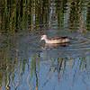 Beltedvergand / Cotton Pygmy Goose <br /> Al Mughsayl, Oman 02.12.2010<br /> Canon EOS 50D + EF 400 mm 5.6 L