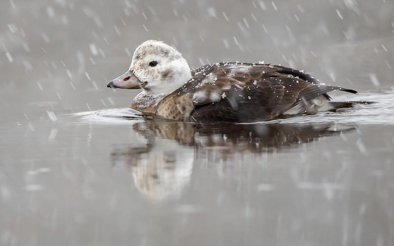 Havelle / Longtailed Duck<br /> Linnesstranda, Lier 5.11.2016<br /> Canon 7D Mark II + Tamron 150 - 600 mm 5,0 - 6,3 G2