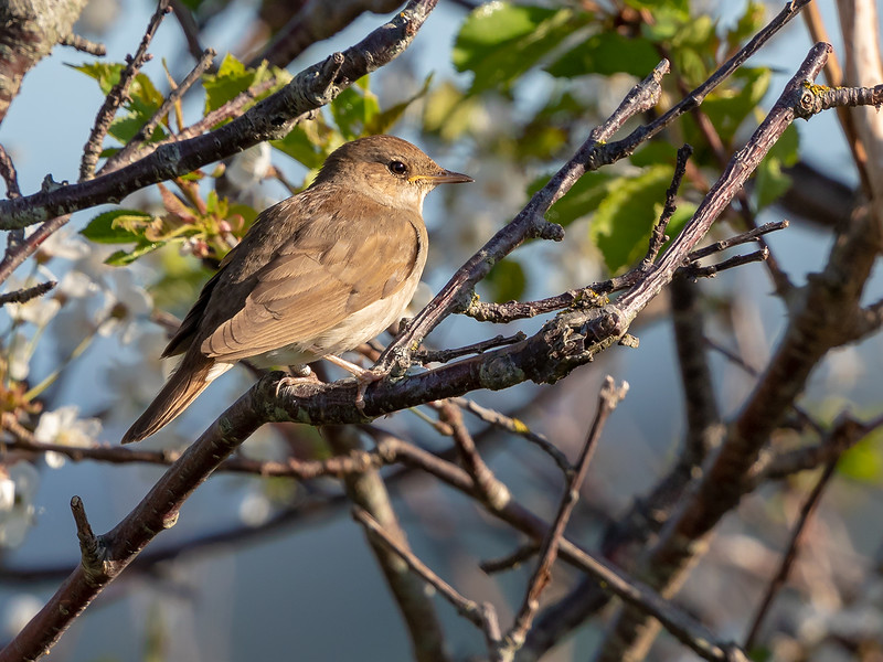 Nattergal / Thrush Nightingale <br /> Mølen, Vestfold 18.5.2018<br /> Canon 5D Mark IV + EF 500mm f/4L IS II USM + 1.4x Ext