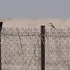 Svartstrupesteinskvett / Pied Wheatear<br /> Oman 28.11.2014<br /> Canon EOS 50D + EF 400 mm 5,6 L