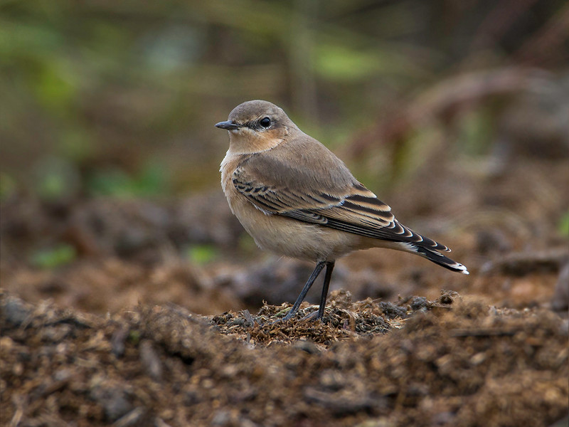 Steinskvett / Northern Wheatear<br /> Jensvoll, Lier 30.8.2014<br /> Canon EOS 7D + Tamron 150 - 600 mm 5,0 - 6,3