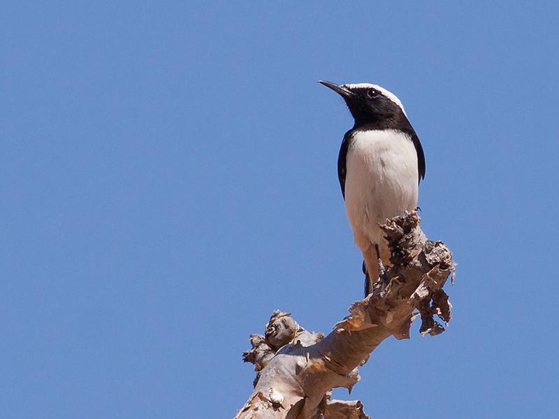 Wadisteinskvett / Arabian Wheatear <br /> Al Mughsayl, Oman 02.12.2010<br /> Canon EOS 50D + EF 400 mm 5.6 L
