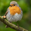 Rødstrupe / European Robin<br /> Linnesstranda, Lier 10.5.2020<br /> Canon  5D Mark IV + EF 500mm f/4L IS II USM + 1.4x Ext