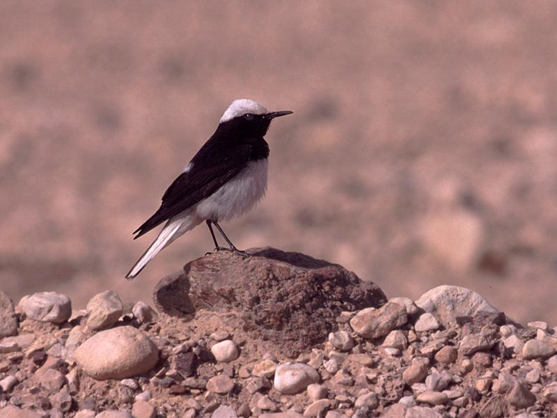 Munkesteinskvett / Hooded Wheatear <br /> Eilat, Israel 1.3.2000<br /> Nikon NIkkormat FTn + Vivitar 400 mm