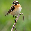 Buskskvett / Whinchat<br /> Huseby, Lier 10.5.2020<br /> Canon  5D Mark IV + EF 500mm f/4L IS II USM + 1.4x Ext