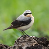 Steinskvett / Northern Wheatear<br /> Huseby, Lier 10.5.2020<br /> Canon  5D Mark IV + EF 500mm f/4L IS II USM + 1.4x Ext