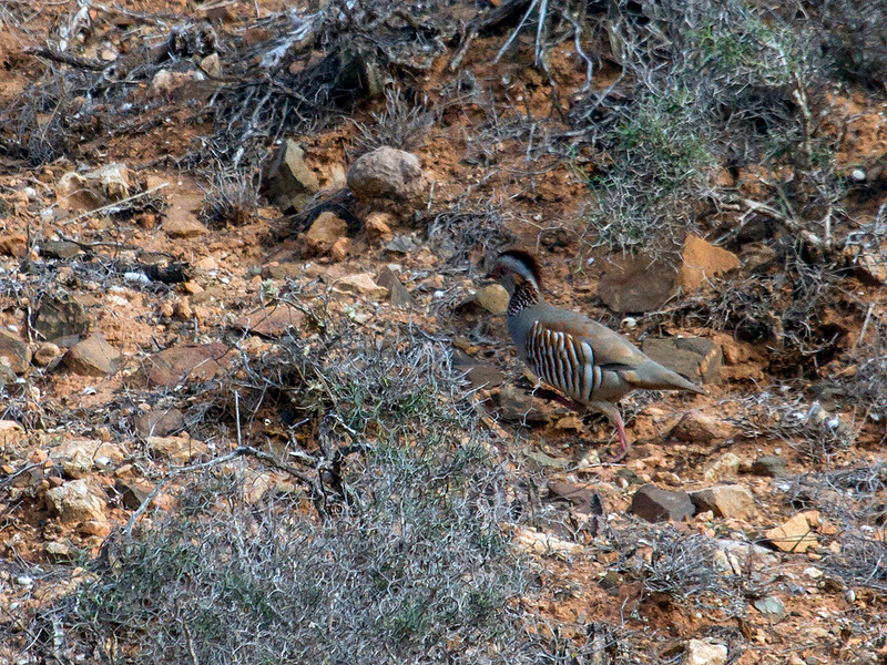 Berberhøne / Barbary Partridge<br /> Fuerteventura, Kanariøyene 27.12.2012<br /> Canon EOS 7D + EF 100-400 mm 4,5-5,6 L