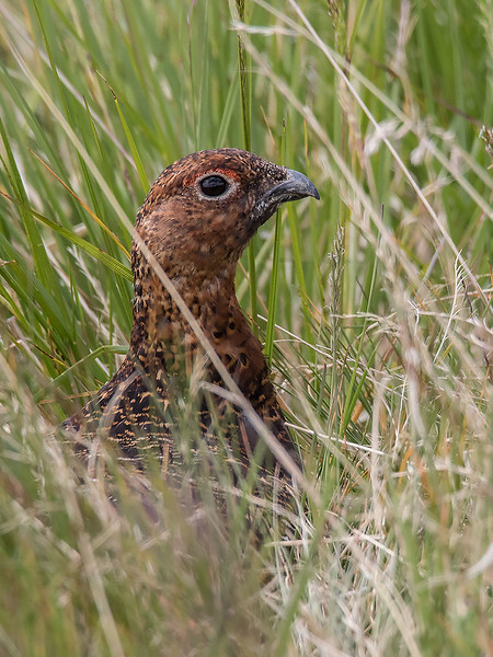 Lirype /Willow Grouse<br /> Hol, Hallingdal 10.7.2015<br /> Canon 7D Mark II + Tamron 150 - 600 mm 5,0 - 6,3 G2
