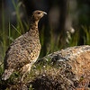 Lirype /Willow Grouse<br /> Einunndalen, Innlandet 16.7.2021<br /> Canon EOS R5 + Canon EF 500mm f/4L IS II USM + 1.4x Ext