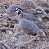 Araberhøne / Arabian Partridge <br /> Al Mughsayl, Oman 02.12.2010<br /> Canon EOS 50D + EF 400 mm 5.6 L