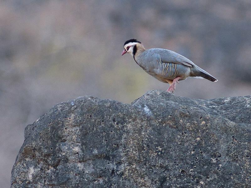 Araberhøne / Arabian Partridge <br /> Ayn Razat, Oman 30.11.2010<br /> Canon EOS 50D + EF 400 mm 5.6 L