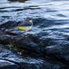 Vintererle / Grey Wagtail <br /> Vikersund, Modum 8.10.2006<br /> Canon EOS 20D + EF 400 mm 5,6 L