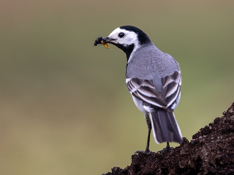 Linerle / White Wagtail<br /> Huseby, Lier 8.6.2019<br /> Canon 5D Mark IV + EF 500mm f/4L IS II USM + 1.4x Ext
