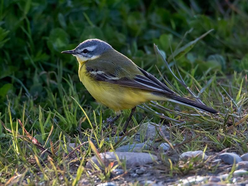 Gulerle / Yellow Wagtail <br /> Skjern enge, Danmark 20.5.2015<br /> Canon 7D Mark II + Tamron 150 - 600 mm 5,0 - 6,3