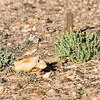 Flekkdverglerke /Lesser Short-toed Lark<br /> Fuerteventura, Kanariøyene 29.12.2012<br /> Canon EOS 7D + EF 100-400 mm 4,5-5,6 L