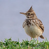 Topplerke / Crested Lark