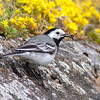 Linerle / White Wagtail <br /> Saltstraumen, Nordland 9.7.2006<br /> Canon EOS 20D + EF 400 mm 5,6 L