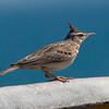 Topplerke / Crested Lark <br /> Liwa, Oman 23.11.2010<br /> Canon EOS 50D + EF 400 mm 5.6 L