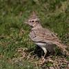 Topplerke / Crested Lark <br /> Salalah, Oman 02.12.2010<br /> Canon EOS 50D + EF 400 mm 5.6 L