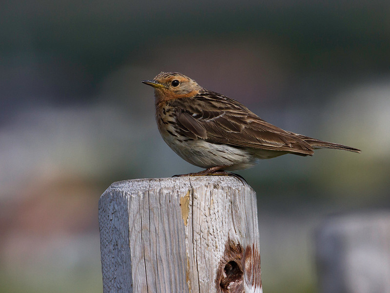 Lappiplerke / Red-throated Pipit<br /> Vadsøya, Finnmark, 8.7.2013<br /> Canon EOS 7D + EF 100-400 mm 4,5-5,6 L
