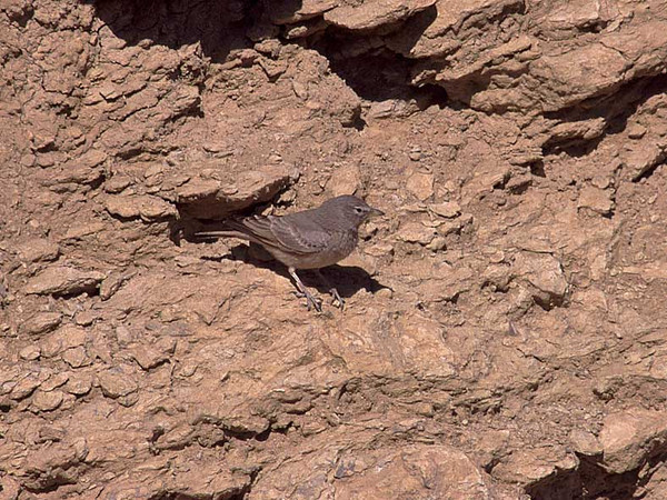 Ørkenlerke / Desert Lark <br /> Eilat, Israel 26.2.2000<br /> Nikon Nikkormat FTn + Vivitar 400 mm 5,6