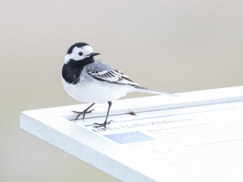 Linerle / White Wagtail<br /> Lille Vildmose, Danmark 26.5.2015<br /> Canon 7D Mark II + Tamron 150 - 600 mm 5,0 - 6,3 @ 450 mm