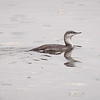 Smålom / Red-throated Loon <br /> Linnesstranda, Lier 2.10.2011<br /> Canon EOS 50D + EF 400 mm 5,6 L