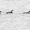 Storlom / Black-throated Diver<br /> Stororkelsjøen, Sør-Trøndelag 6.7.2015<br /> Canon 7D Mark II + Tamron 150 - 600 mm 5,0 - 6,3