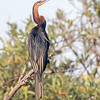 Slangehalsfugl / African Darter<br /> Tendaba, Gambia 4.2.2016<br /> Canon 7D Mark II + Tamron 150-600 mm 5,0-6.3 @ 450 mm