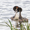 Toppdykker / Great Crested Grebe<br /> Østensjøvannet, Oslo. 20.5.2013<br /> Canon EOS 7D + EF 100-400 mm 4,5-5,6 L