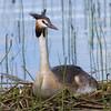 Toppdykker / Great Crested Grebe<br /> Vikbukta, Ringerike. 15.7.2012<br /> Canon EOS 7D + EF 100-400 mm 405-5,6 L