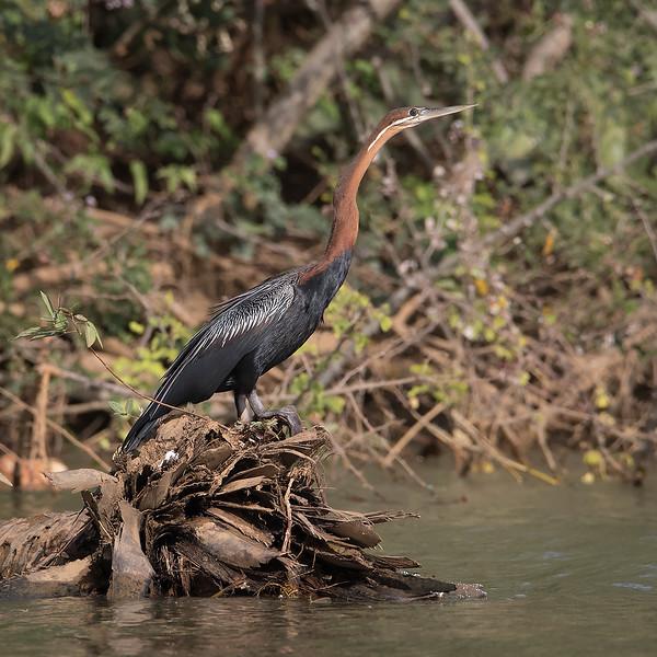 Slangehalsfugl / African Darter<br /> Kuntaur - Jajanbureh, Gambia 2.2.2016<br /> Canon 7D Mark II + Tamron 150-600 mm 5,0-6.3