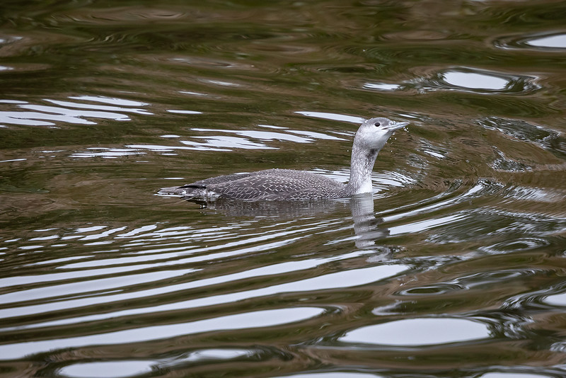 Smålom / Red-throated Loon <br /> Linnesstranda, Lier 16.9.2018<br /> Canon 5D Mark IV  + Canon EF 500mm f/4L IS II USM + 2x Extender