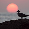 Sotmåke / Sooty Gull<br /> Ras Mirbat, Oman 01.12.2010<br /> Canon EOS 50D + EF 400 mm 5.6 L
