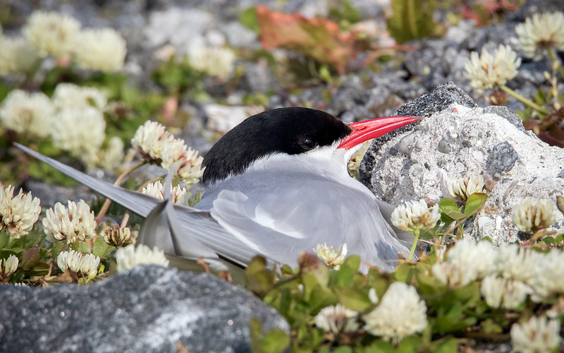 Rødnebbterne / Arctic Tern<br /> Andenes, Vesterålen 14.7.2015<br /> Canon 7D Mark II + Tamron 150 - 600 mm 5,0 - 6,3 @ 552 mm
