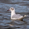 Hettemåke / Black-headed Gull<br /> Sandebukta, Holmestrand 30.8.2020<br /> Canon  5D Mark IV + EF 500mm f/4L IS II USM + 1.4x Ext III