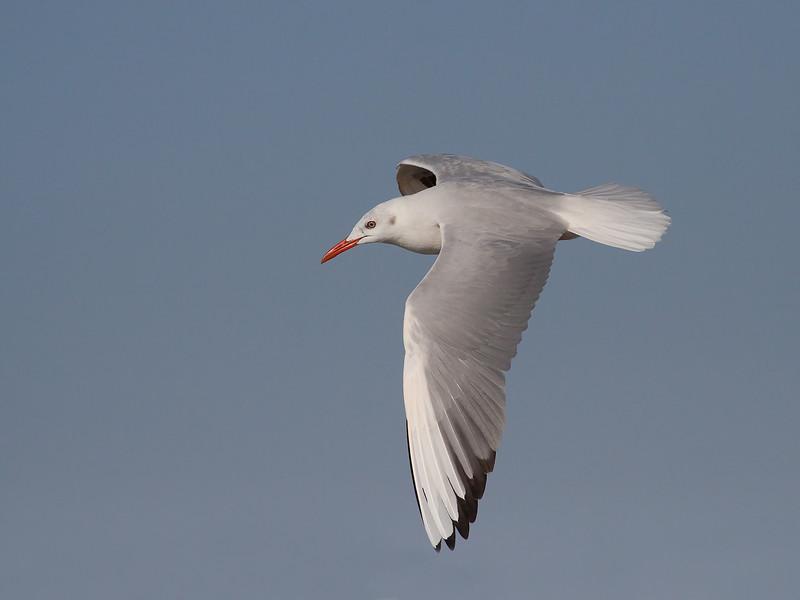 Smalnebbmåke / Slender-billed Gull<br /> Shannah, Oman 27.11.2010<br /> Canon EOS 50D + EF 400 mm 5.6 L